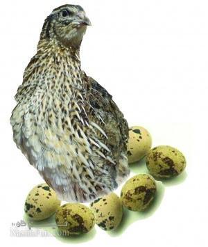 از خواص تخم بلدرچین چه می دانید؟