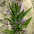 خواص گیاه کاکوتی
