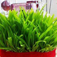آموزش انواع سبزه عید نوروز گندم، خاکشیر، کتان، ماش و کنجد