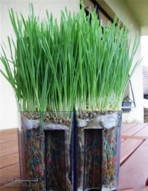 تصاویر انواع سبزه های گندوم عید نوروز 1397