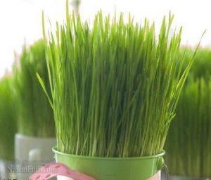 روش کاشت سبزه گندم