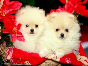 حکم نگهداری سگ های تزئینی در خانه