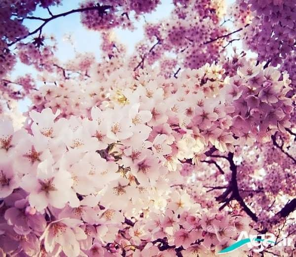 عکس پروفایل خاص بهاری همراه بامتن شعر