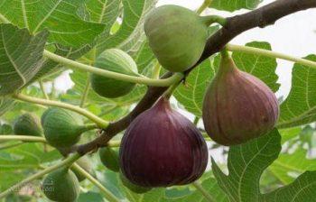 تعبیر خواب انجیر - خوردن انجیر های شیرین و خوشمزه چه تعبیری دارد؟