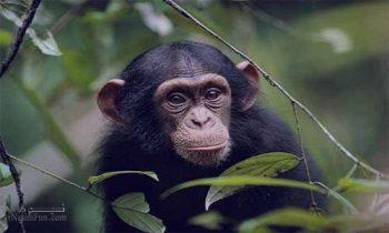 تعبیر خواب میمون - دیدن میمون در خواب چه تعبیری دارد؟
