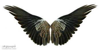 تعبیر خواب بال - دیدن بال پرندگان در خواب چه معنایی دارد؟
