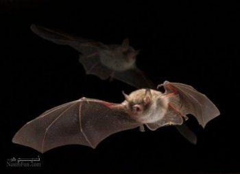 تعبیر خواب خفاش - دیدن خفاش مرده در خواب چه تعبیری دارد؟