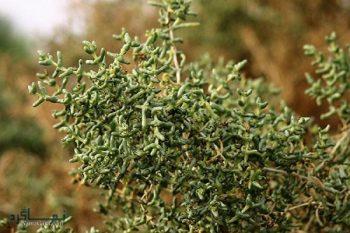 آشنایی با گیاه اشنان درختی - خواص دارویی و مصارف آن