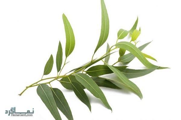 اکالیپتوس چیست - خواص دارویی و عوارض مصرف گیاه اکالیپتوس