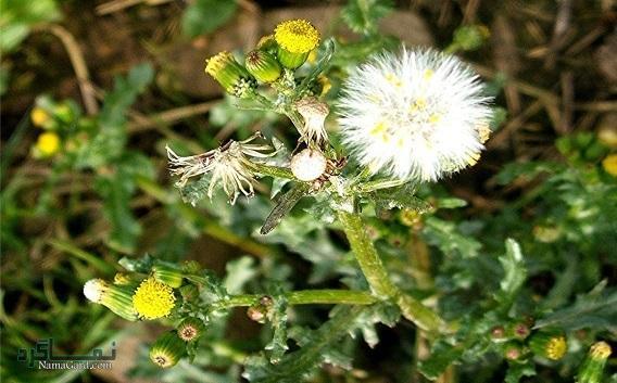 پیر گیاه چیست | معرفی خواص درمانی پیرگیاه