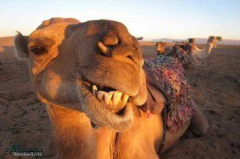 تعبیر خواب شتر + تعبیر خواب شتر سواری و حمله شتر