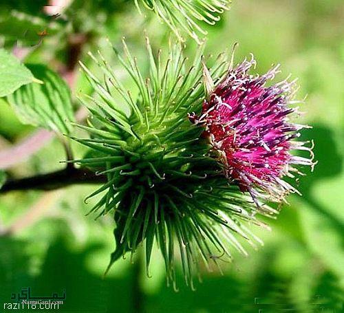 گیاه بابا آدم چیست و چه خاصیت درمانی دارد؟