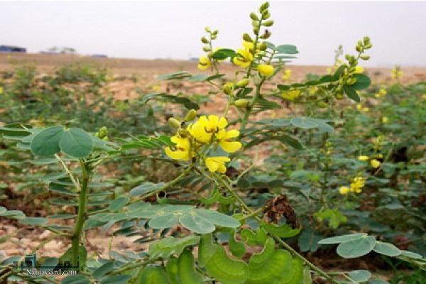 گیاه برگ سنا چیست؟ خاصیت و موارد مصرف آن