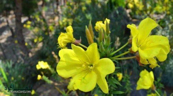 خواص درمانی گیاه پامچال + نحوه ی مصرف از آن