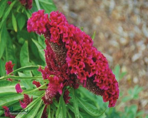 معرفی خواص گیاه تاج خروس در درمان جوش صورت و سرطان