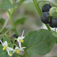 گیاه تاجریزی چیست | آشنایی با خواص درمانی و عوارض تاجریزی