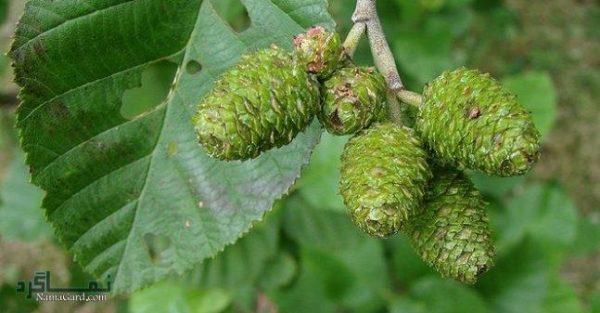 آشنایی با درخت توسکا + خواص درمانی برگ و پوست توسکا