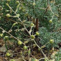 گیاه چله داغی چیست؟ آشنایی با خاصیت درمانی گیاه چله داغی