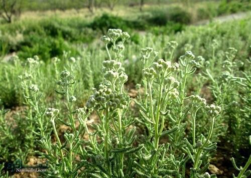 خواص درمانی گیاه برنجاسف چیست ؟