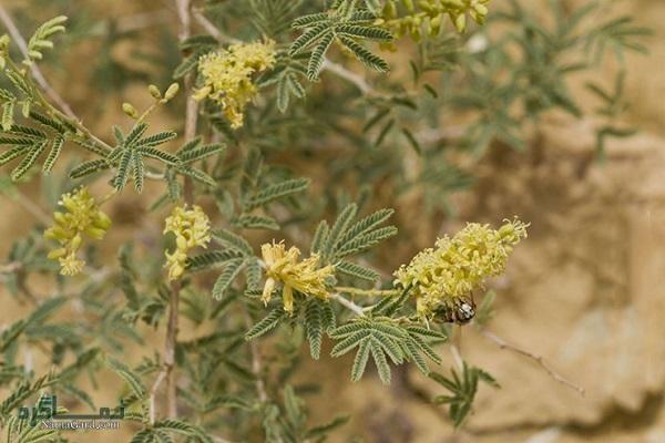 گیاه جغجغه چیست |معرفی خواص درمانی گیاه جغجغه