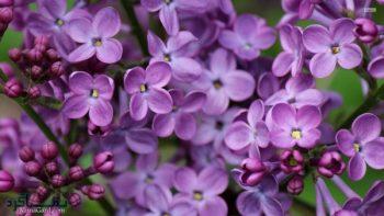 تعبیر خواب یاسمن - چیدن گل یاسمن در خواب چه معنایی دارد؟