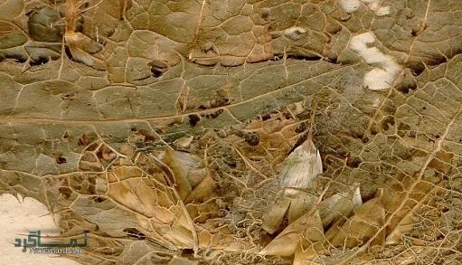 معرفی خواص گیاه خار مقدس | مضرات و عوارض آن