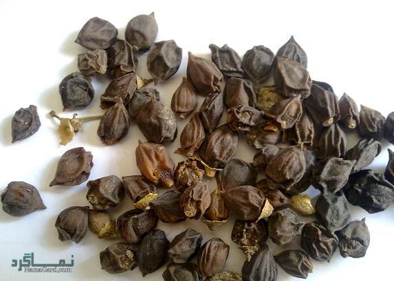 گیاه سپستان | خواص درمانی سپستان برای سلامتی و کلیه | عوارض خطرناک آن