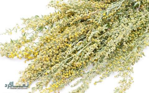 آشنایی با خواص درمانی گیاه درمنه + نحوه مصرف و عوارض گیاه درمنه