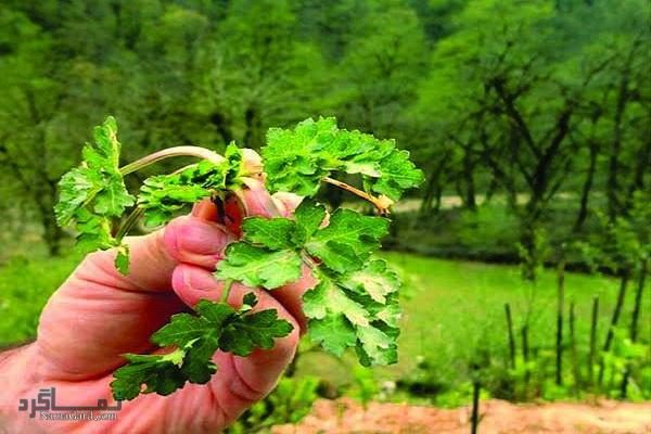 چوچاغ یا زولنگ چیست ؟ معرفی خواص درمانی بیشمار گیاه چوچاغ