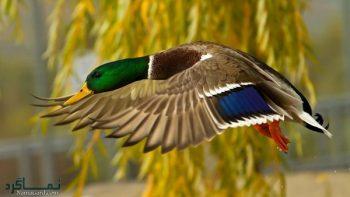 تعبیر خواب مرغابی - دیدن مرغابی در حال پرواز چه تعبیری دارد؟