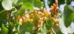 گیاه خینجوک | آشنایی با خواص درمانی گیاه خینجوک + عوارض آن