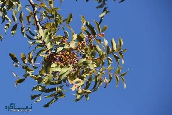 گیاه خینجوک چیست | آشنایی با خواص درمانی گیاه خینجوک و عوارض آن