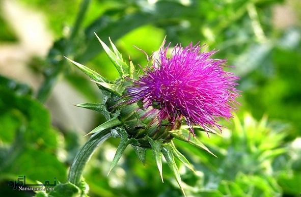 خار مریم چیست | خواص درمانی گیاه خار مریم برای سم زدایی کبد