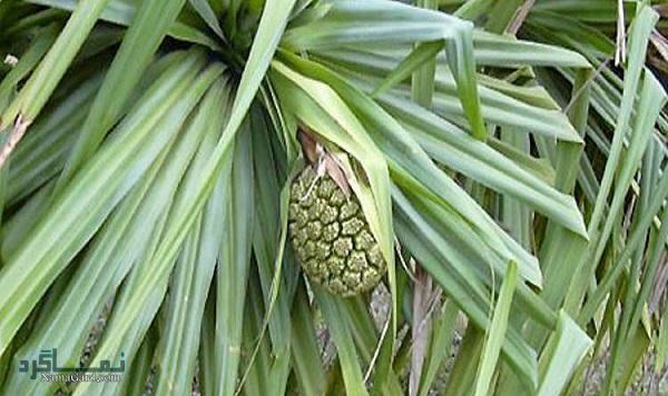 15 خواص درمانی فوق العاده گیاه کادی (پاندانوس) | عوارض آن