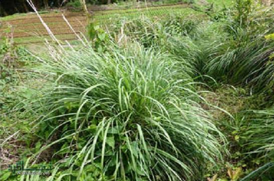 گیاه کاه مکی چیست ؟ | خواص درمانی کاه مکی | عوارض آن