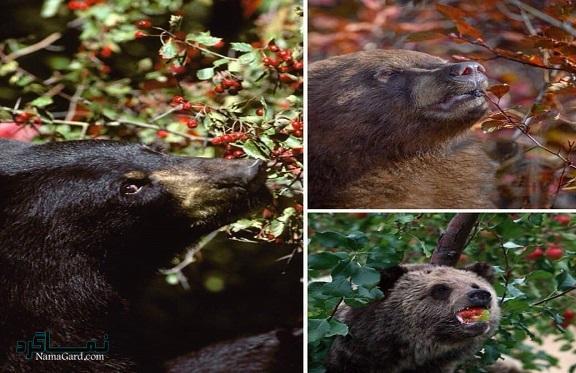 علف خرس چیست   خواص درمانی گیاه علف خرس   عوارض خطرناک آن