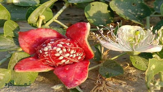 علف مار | خواص درمانی گیاه علف مار برای قاعدگی