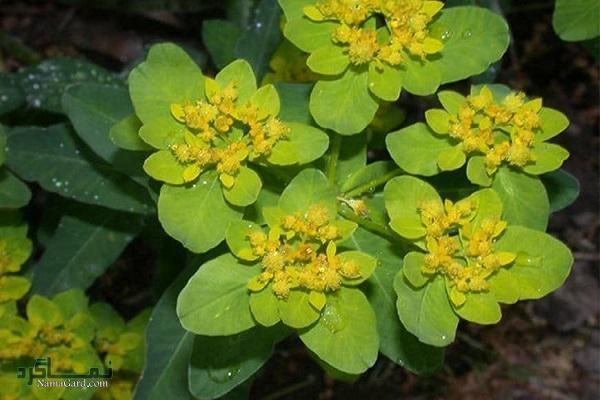 گیاه فرفیون | خواص درمانی فرفیون برای سرطان سینه و سلامتی