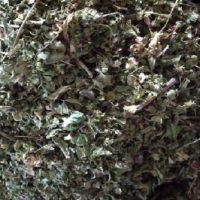 گیاه فرفیون   خواص درمانی فرفیون برای سرطان سینه و سلامتی