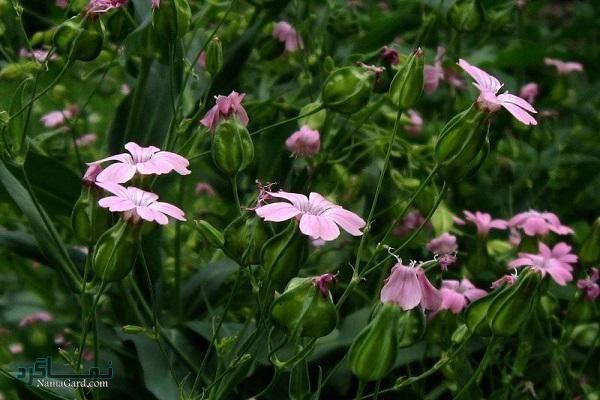 گیاه صابونک | خواص درمانی صابونک برای جزام