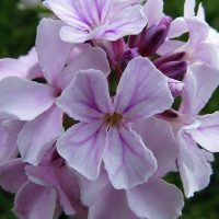 گیاه گل آتشین | خواص درمانی گل آتشین برای قلب