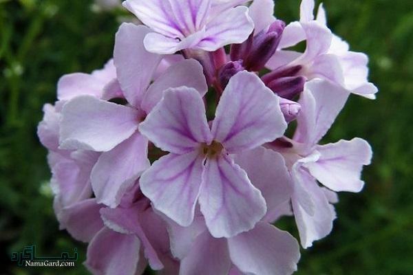 گیاه گل آتشین   خواص درمانی گل آتشین برای قلب