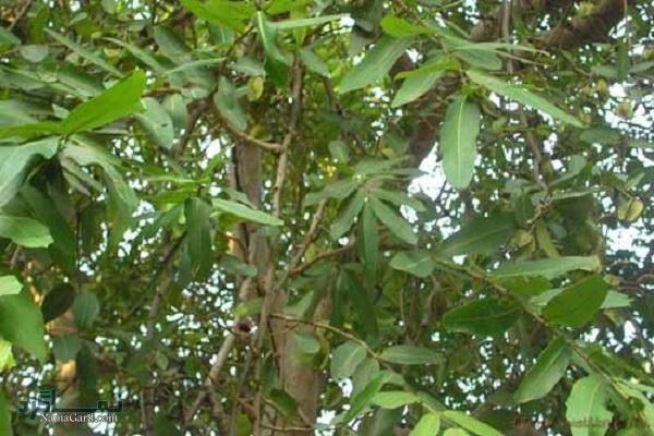 درخت آرجون | آشنایی با گیاه آرجون و خواص درمانی آن برای سلامتی