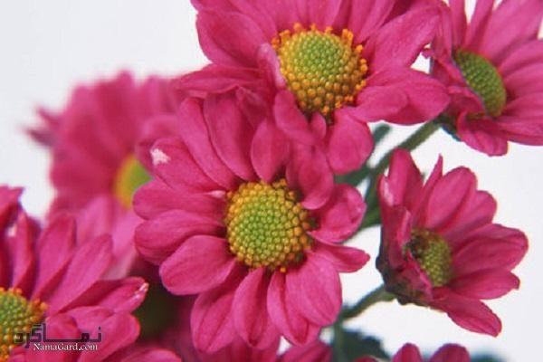 گل مینا | خواص درمانی گل مینا برای سلامتی و تسکین درد میگرن | مضرات آن