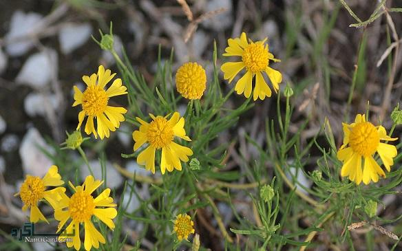 آشنایی با خواص دارویی و درمانی گل راسن یا زنجبیل شامی | عوارض مصرف گل راسن