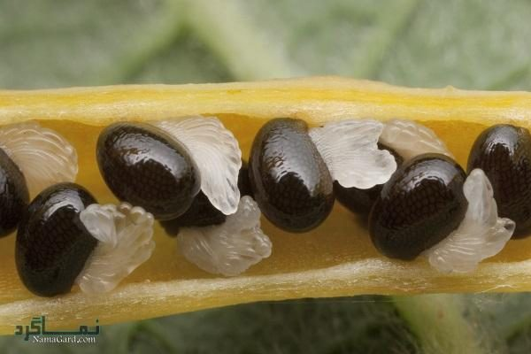 گیاه مامیران کبیر | خواص درمانی مامیران کبیر برای سرطان و کبد | عوارض آن