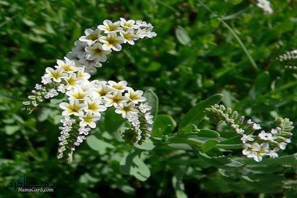 گیاه آفتاب پرست | خواص درمانی گیاه آفتاب پرست برای سلامتی انسان