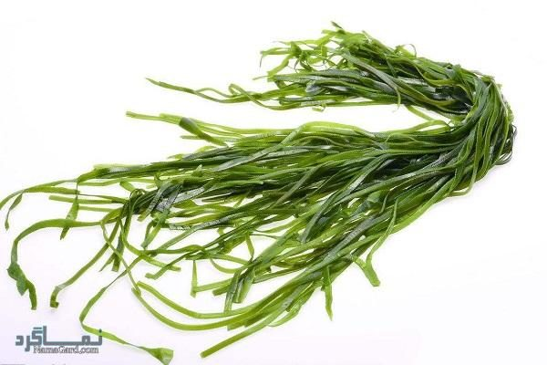 گیاه اشنه دریایی   خواص درمانی اشنه دریایی برای سرطان سینه   کاربرد آن در آشپزی