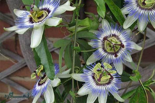 خواص درمانی گل ساعتی برای بی خوابی و استرس| خواص قطره گل ساعتی | مضرات آن