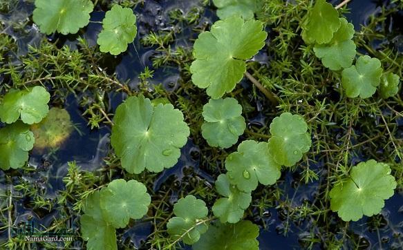 گیاه آب بشقابی | خواص گیاه آب بشقابی برای سلامتی و پوست | عوارض آن